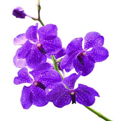 """Цветок орхидея """"Ванда"""""""